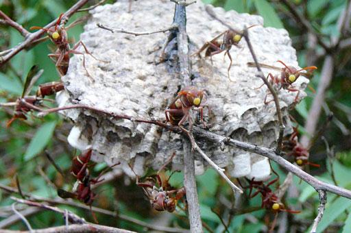 wasps hatching