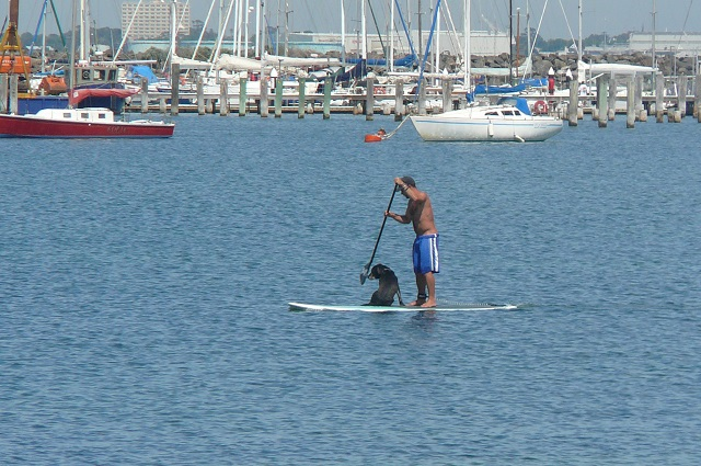 A man and his dog sharing a surfboard in the bay at St.Kilda, Melbourne